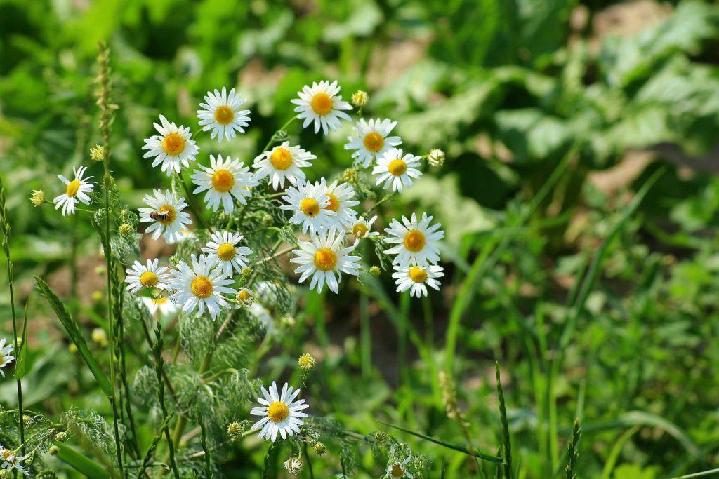 Camomilla: fiori