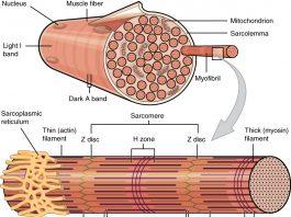 Elettromiografia di singola fibra: Jitter